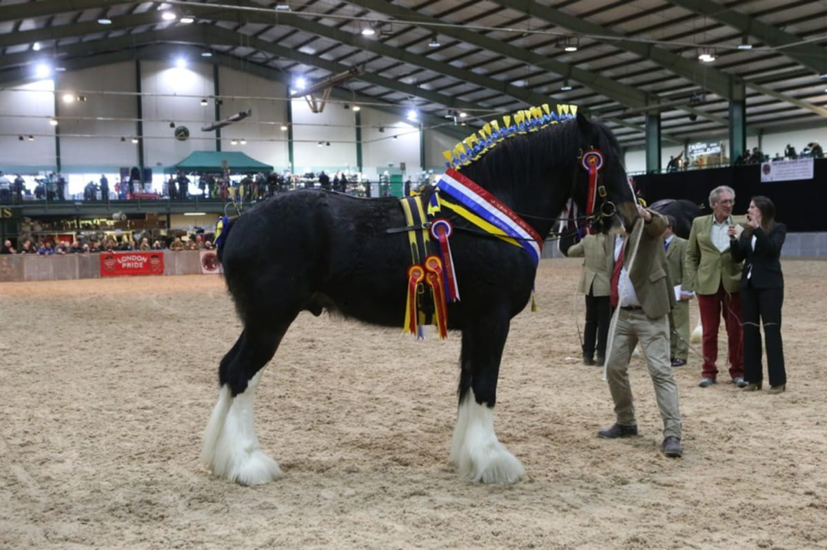 Three year old Shire Stallion: 2017 Junior and Overall UK National Champion Shire Horse
